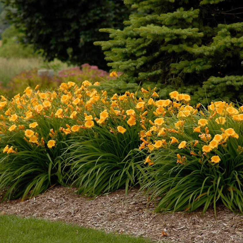 Let's Talk Dazzeling Daylilies
