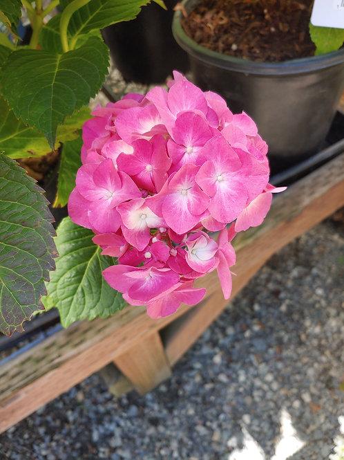 Hydrangea - Merritt's Beauty