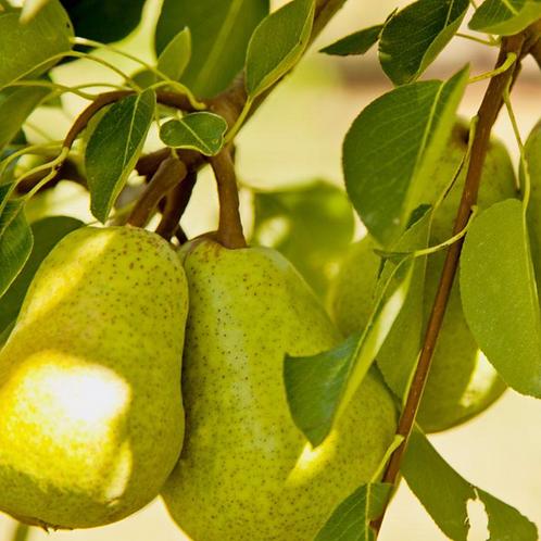 Pear - 3-Way Combo