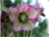 pink frost.jpg