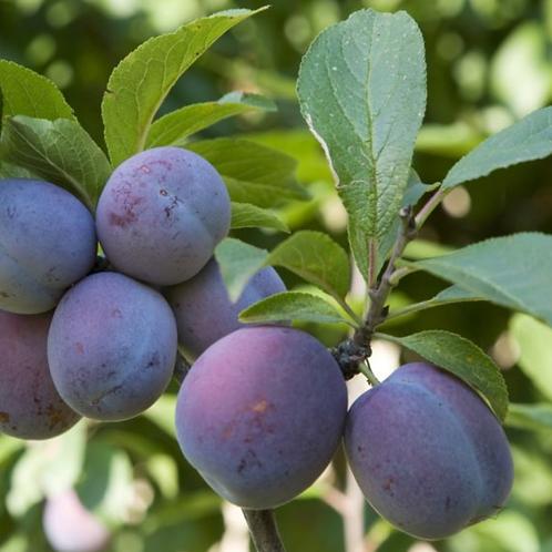 Plum - Italian Prune