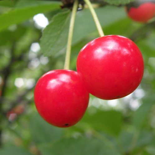 Cherry - Montmorency Sour Cherry