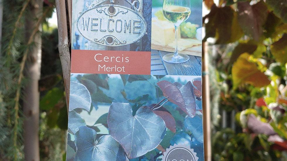 Redbud - Cercis Merlot