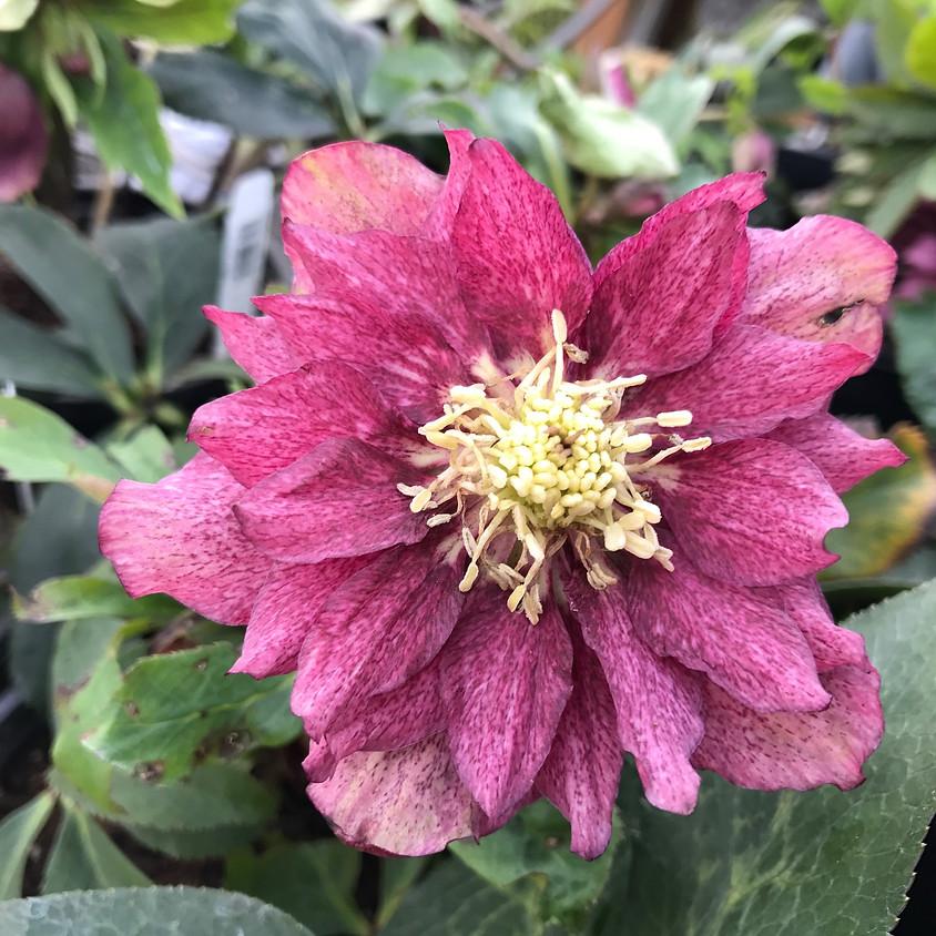 Celebrate Winter Blooming Hellebores