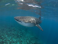 Whaleshark 5.jpg