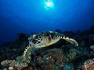 Turtle diving.jpg