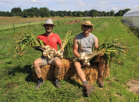 It's garlic harvest time here at EquiCenter Farm!