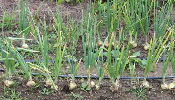 garlic.PNG.png