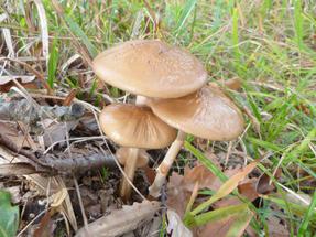 """""""Eztminemesszük-gomba""""—  az Őrségben tanultuk, hogy a kevésbé ismert, vagy amúgy szedésre nem való gombáknak ez az ottani gyűjtőneve, egyébként valami susulyka-féle lehet."""