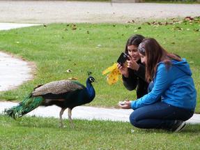 Magányos páva tűri az érdeklődést – a Dolmbahce szeráj udvarán.