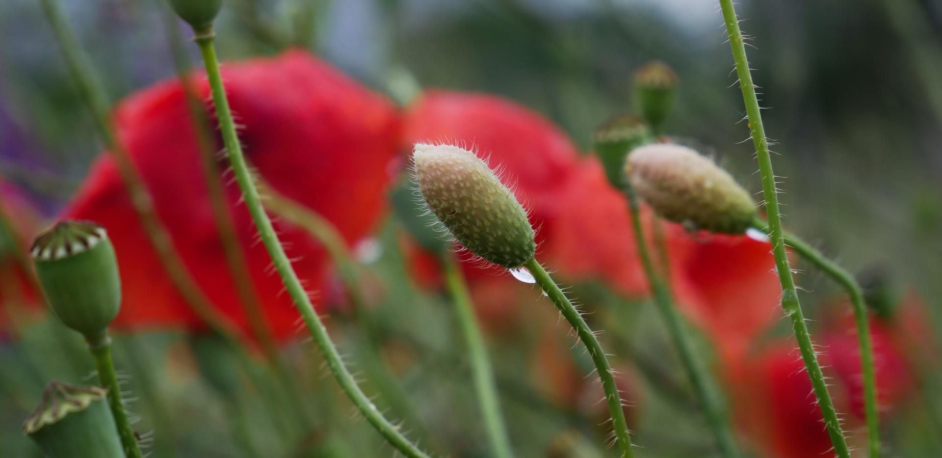 Poppy flowers in the rain