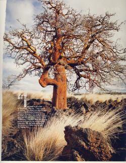 Ancient Wiliwili Trees_Page_07.jpg