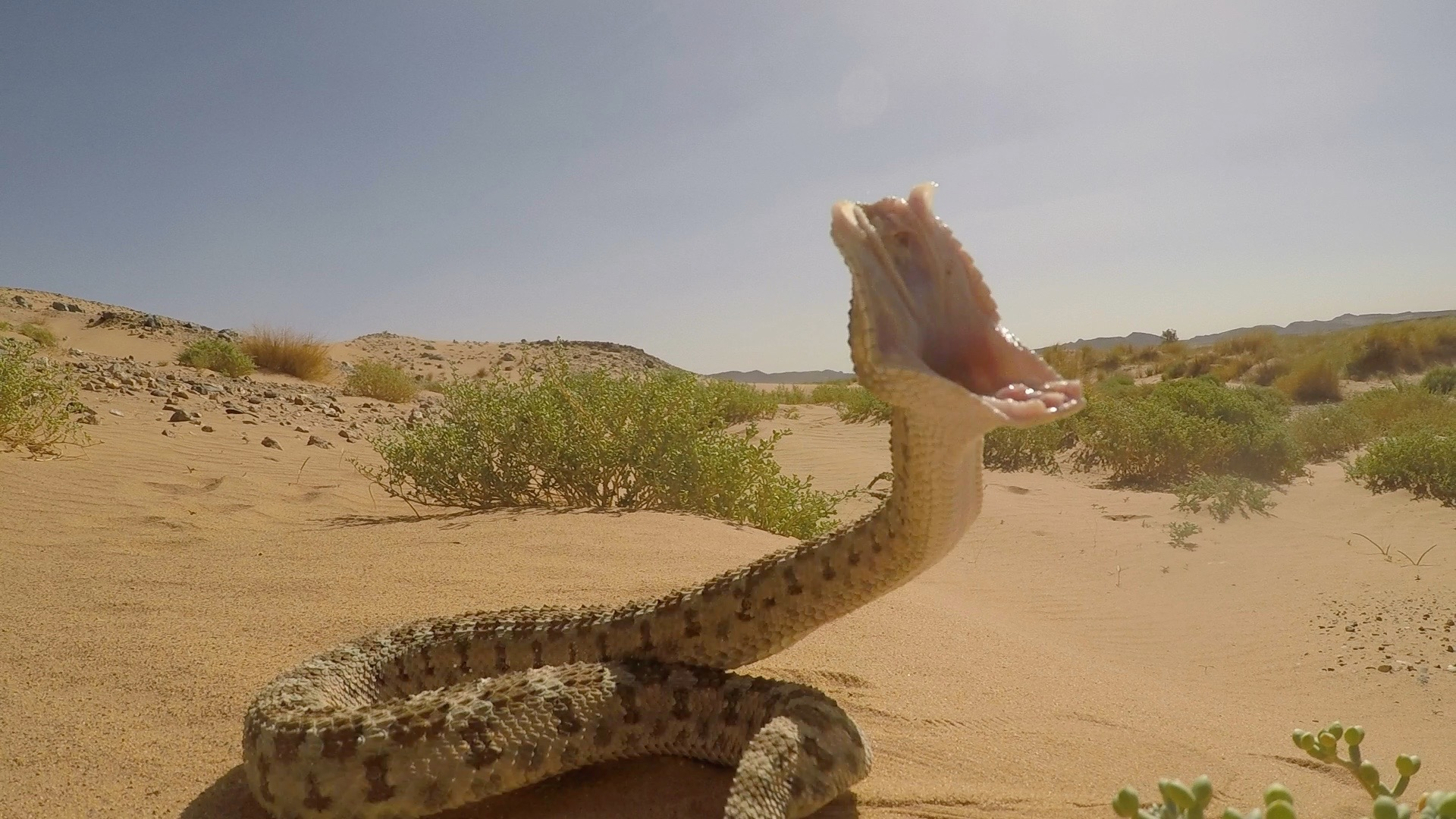 Sahara Hornviper