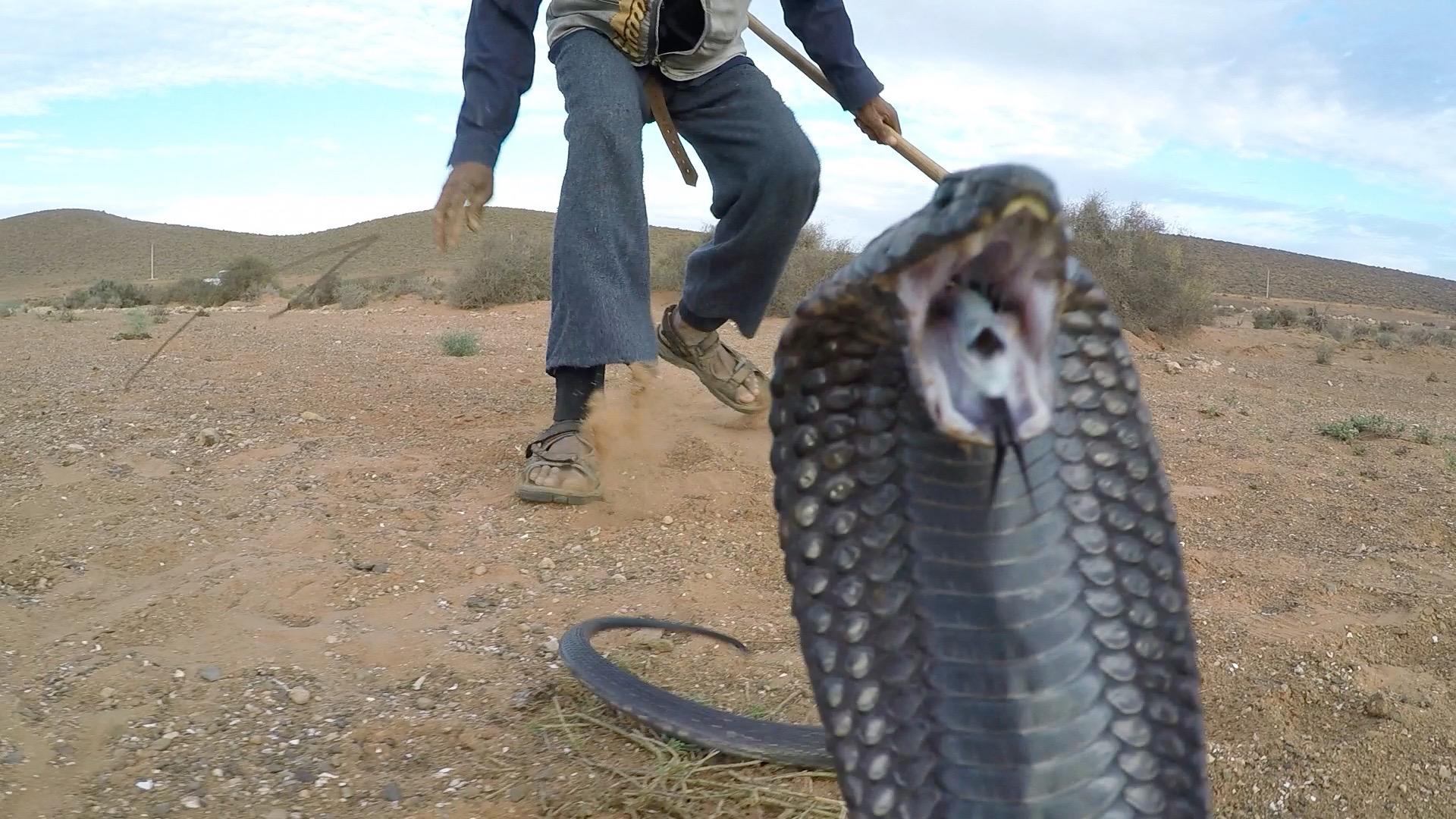 Schwarze Wüsten-Kobra