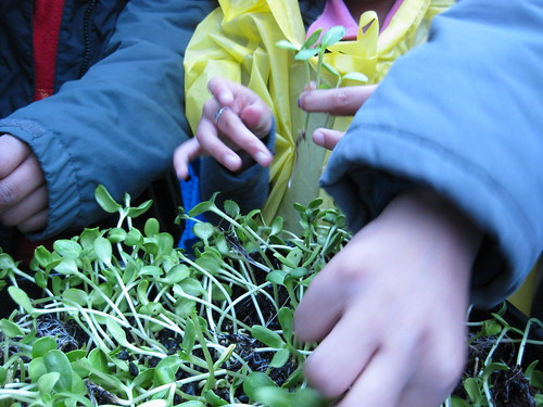 sunflower sprouts tasting