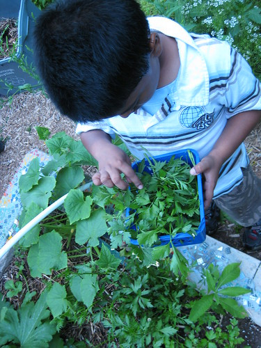 Picking parsley
