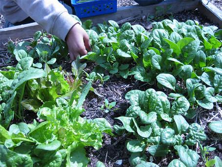 year-round food gardens feed school children