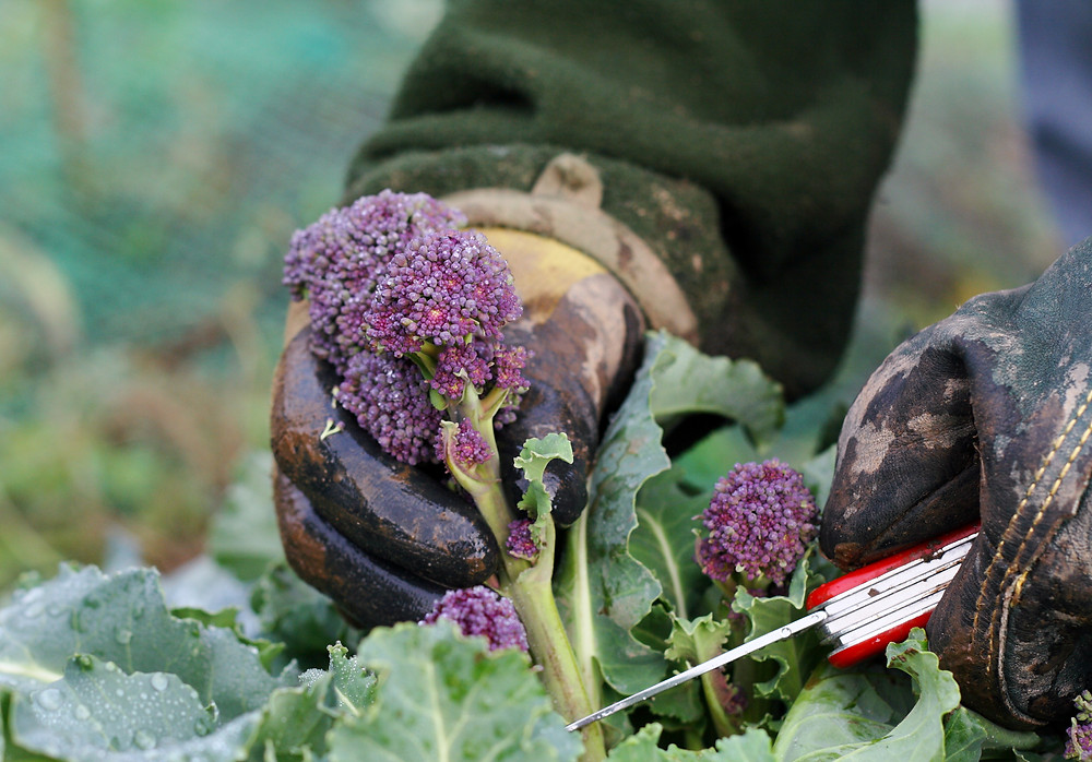 How to harvest purple sprouting broccoli, Cooks & Partners ingredient of the month