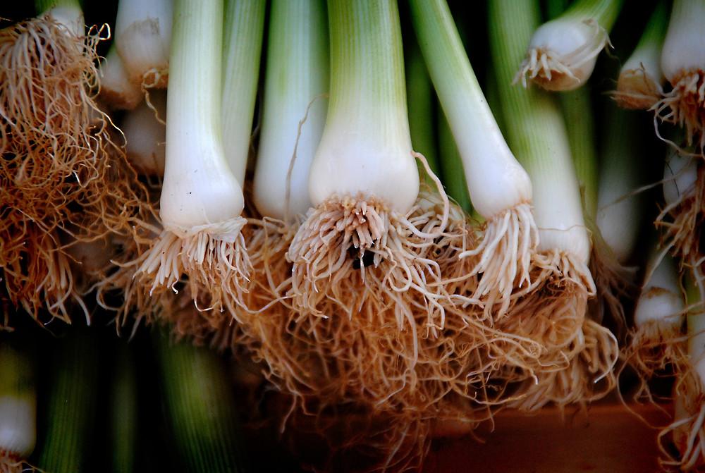 Fresh leeks with root beard
