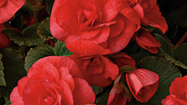 Begonia Solenia Red