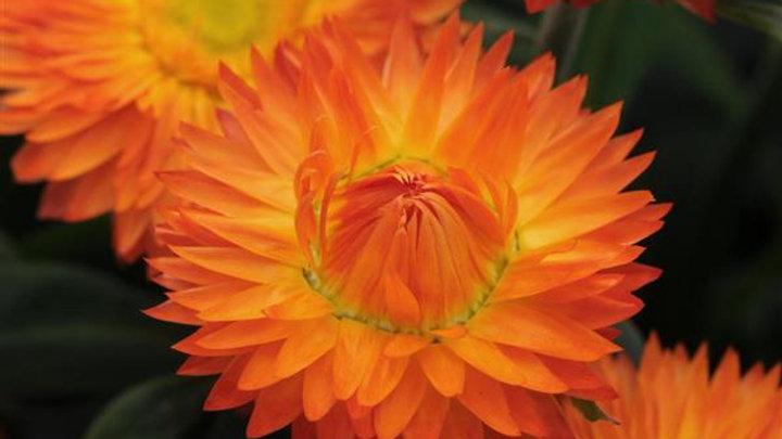 Bract Mohave Orange