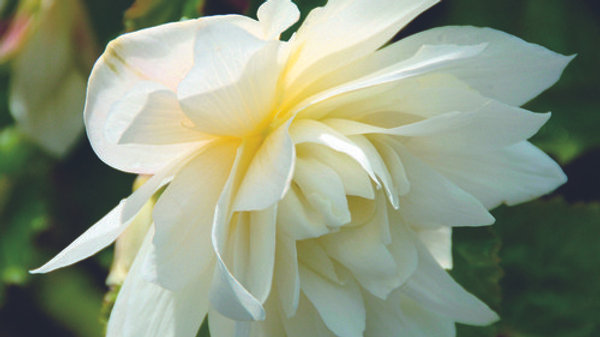 Begonia Belleconia Snow