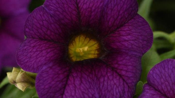 Calibrachoa Neo Dark Blue