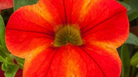 Calibrachoa Callie Star Orange