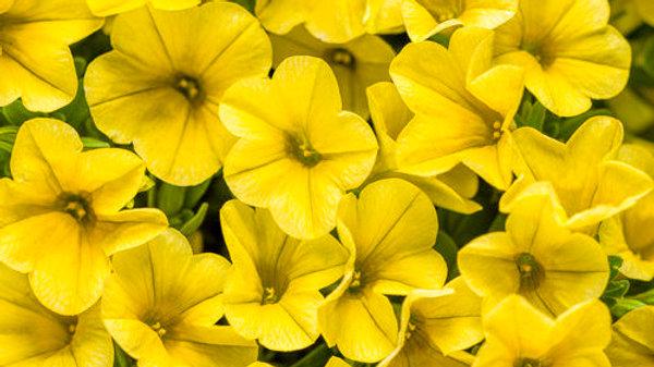 Cali.Superbells Yellow