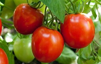 portoflio-tomato.jpg