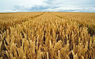 wheat_2225018b.jpg