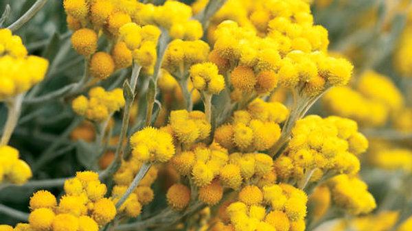 Chryso.Flambe Yellow