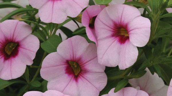 Calibrachoa Neo light Pink eye
