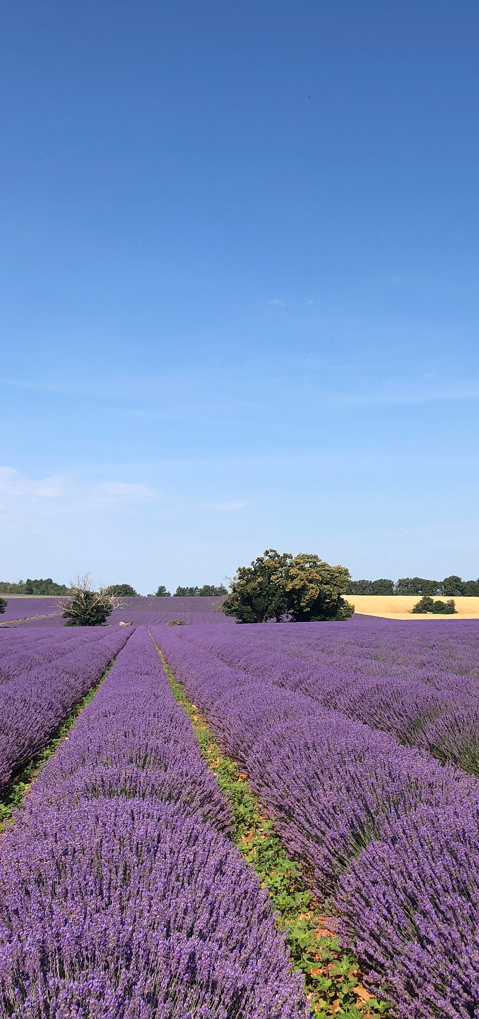 La lavande, l'or bleu de la Provence