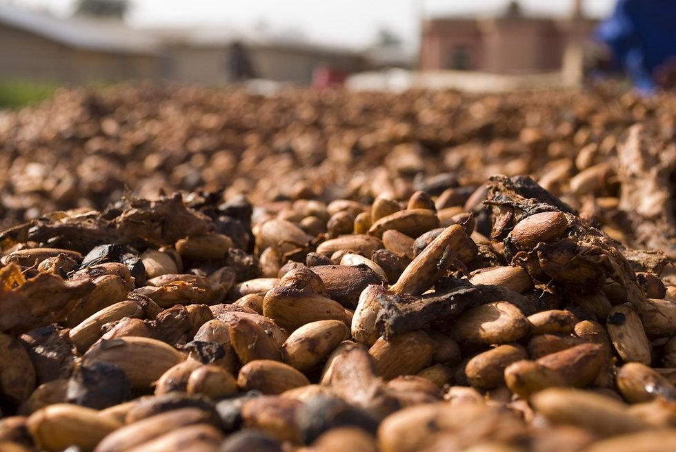 Le cacao, de l'arbre à la fève