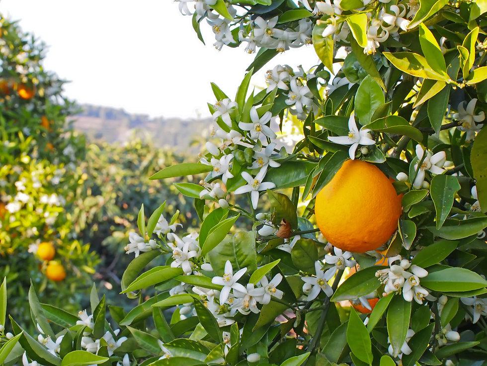 La fleur d'oranger, une madeleine de Proust