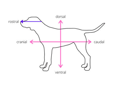 Veterinary Anatomy: Directions and Body Plans