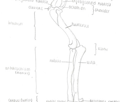 Bones of the Forelimb