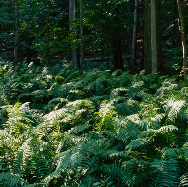 Sunlit Ferns