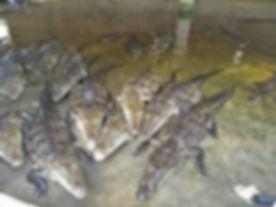 granja crocodilos.jpg