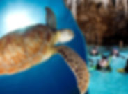 żółwie+cenote-turkusowymeksyk.jpeg
