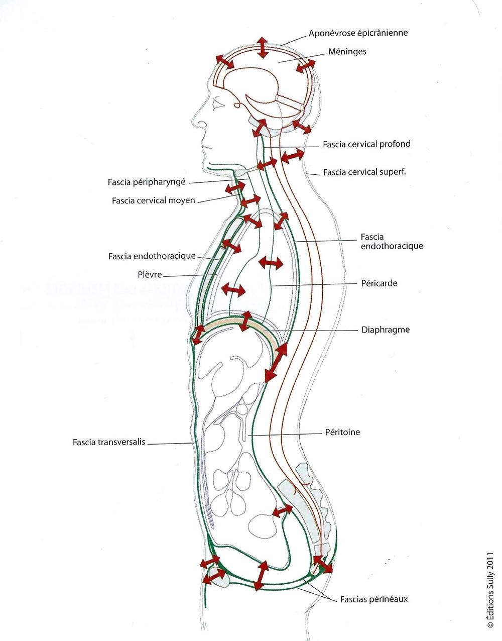 Figure 2 : organisation des fascias, la dure-mère (en rouge), le fascia viscéral (en vert). Présents de la tête aux pieds, les fascias enveloppent chaque bout d'organe et chaque organe. Ils constituent ce qu'on peut appeler une suite tissulaire ininterrompue, de la tête aux pieds mais aussi de l'intérieur vers l'extérieur, partout et de toutes parts.