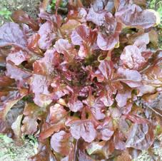 Laitue Red Salad Bowl