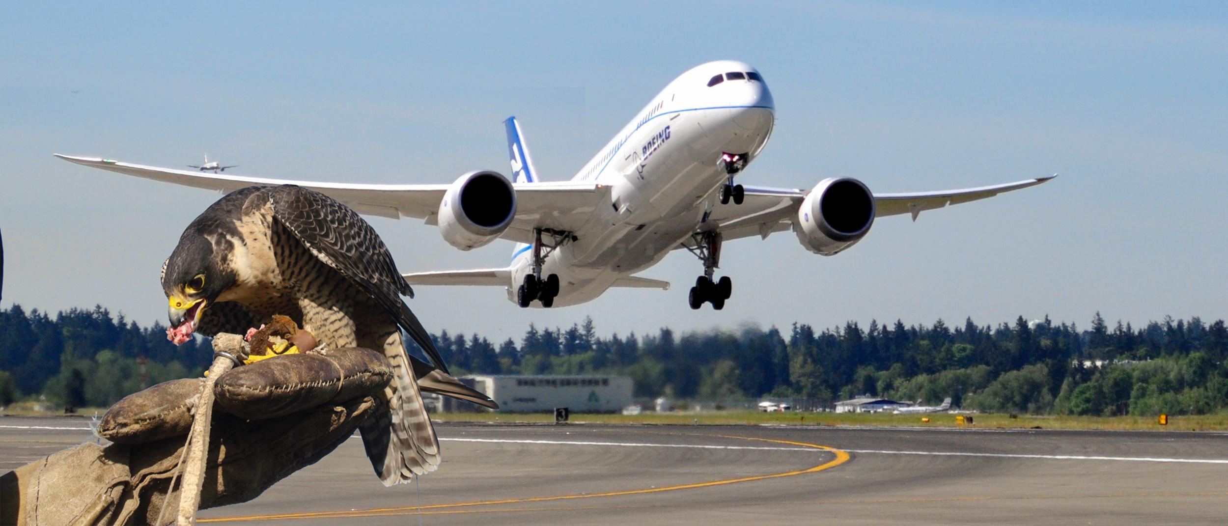 Erradicando plaga de aves en aeropue
