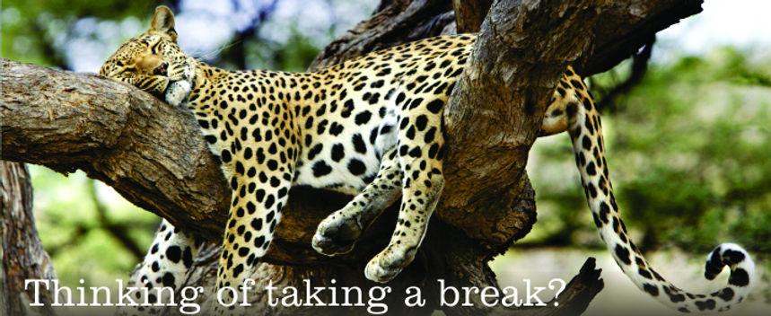 mygrootfontein leopard sleeping in a tree