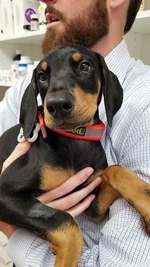 Doberman Puppy