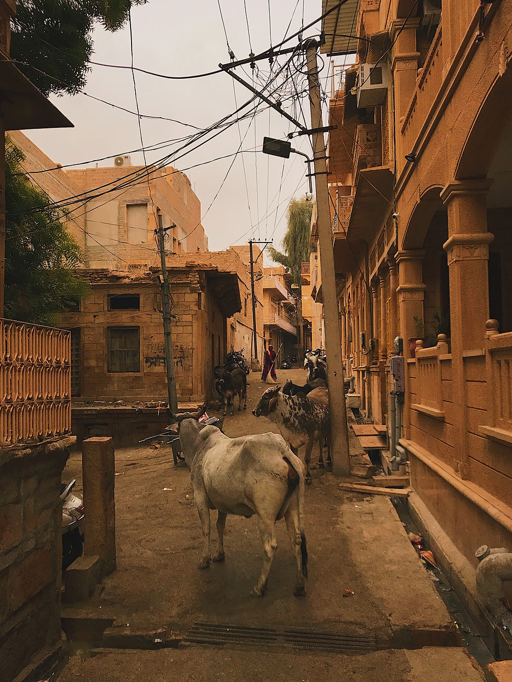 Stray cows in the streets of Jaisalmer, Rajasthan, India