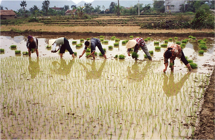 ricefield.png