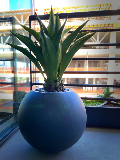 giant agave in ball pot