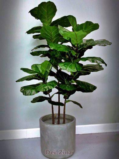 fiddle-leaf-fig-plant-in-grey-container